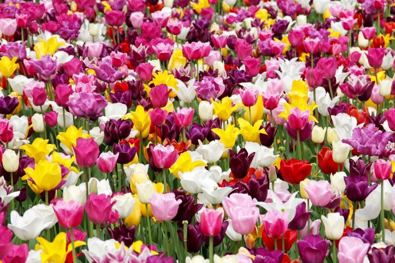 Holland tulipán